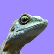 Picture of a lizzard