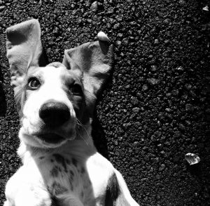 black and white picture of dog with floppy ears