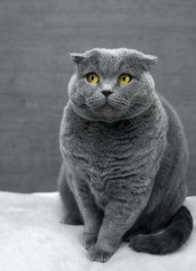 dark grey british shorthair cat