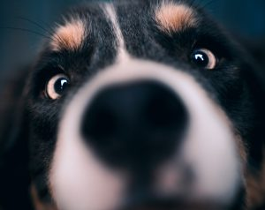 close up picture of dogs nose and eyes
