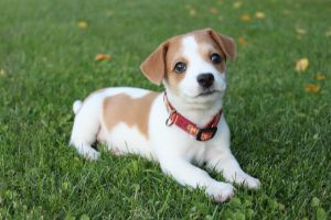 jack russell in a garden