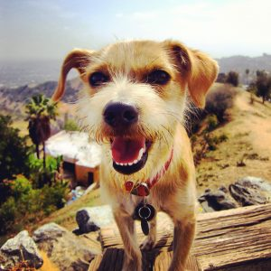 jack russell outdoors