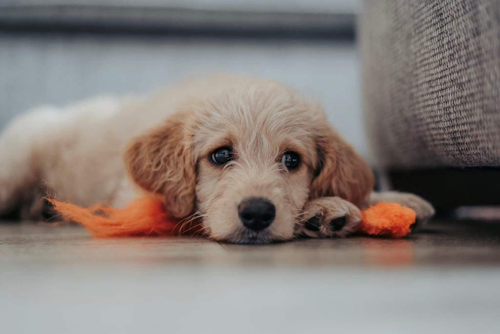 labradoodle with orange toy