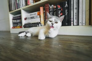 white and grey cat licking paw infront of a bookcase
