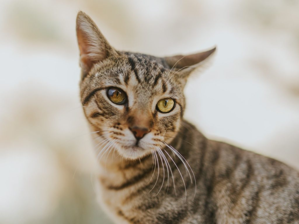 cat with yellow eyes 43