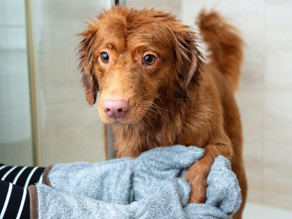 orange dog being washed