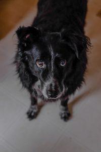 black dog giving puppy dog eyes