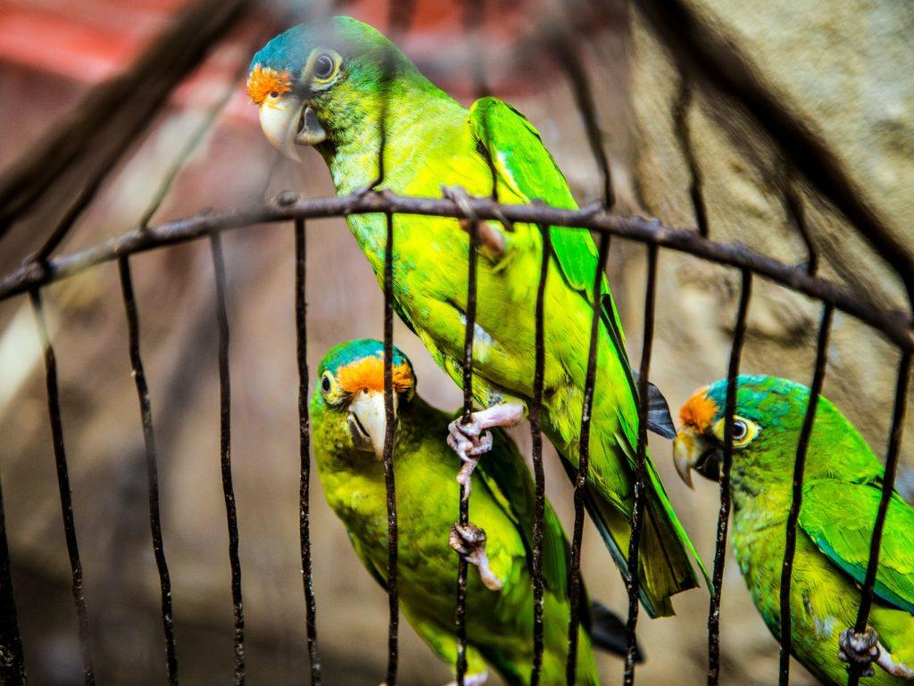 green cage birds 43