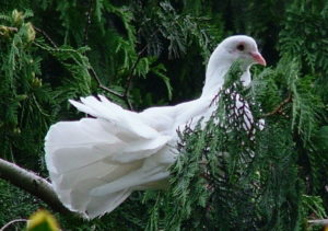 white fantailed pigeon