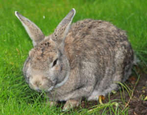 grey rabbit on grass