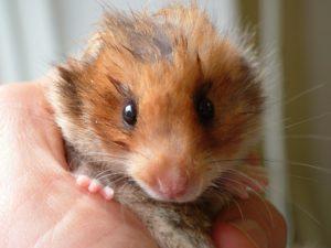 light brown small hamster