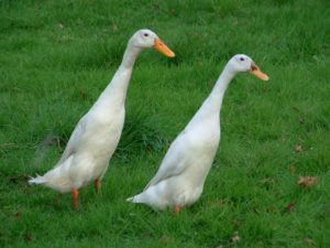 Indian runner ducks