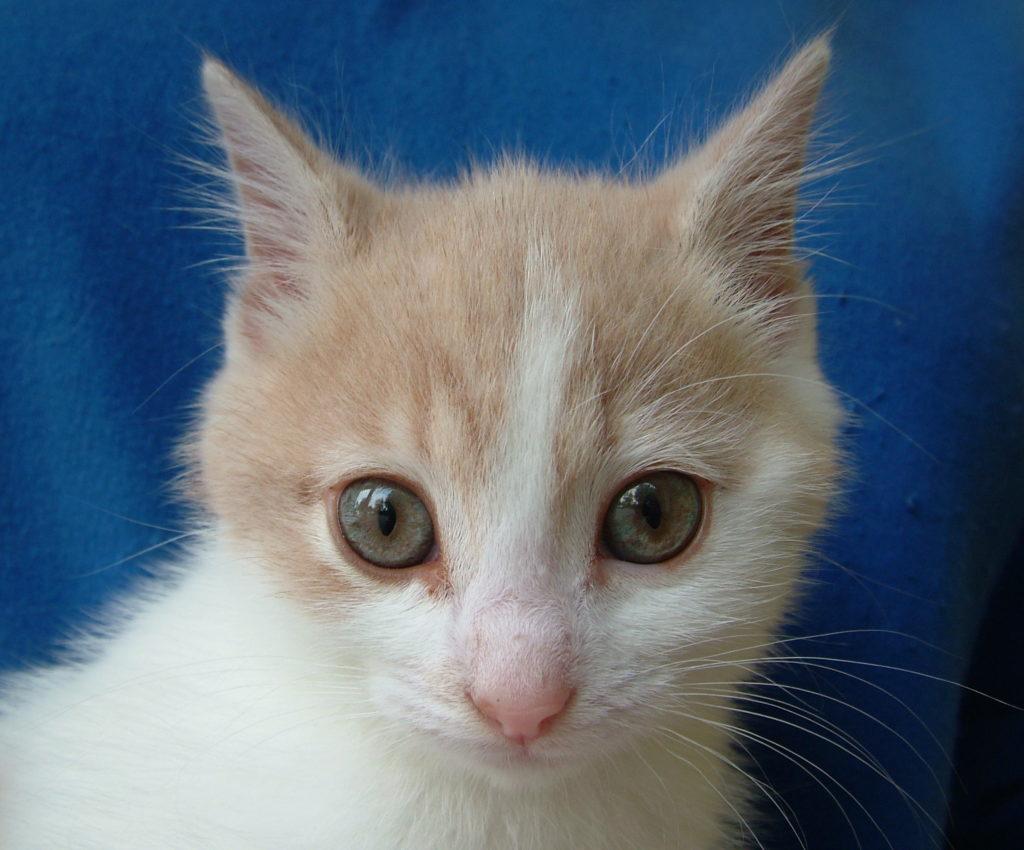 white and ginger kitten face