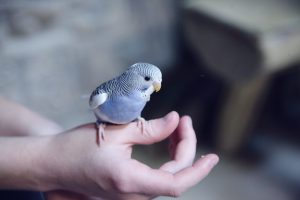 Budgie on hands