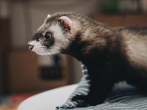 dark barown ferret