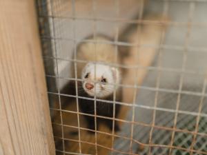 ferret in cage
