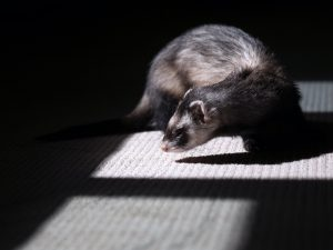 ferret in dark room