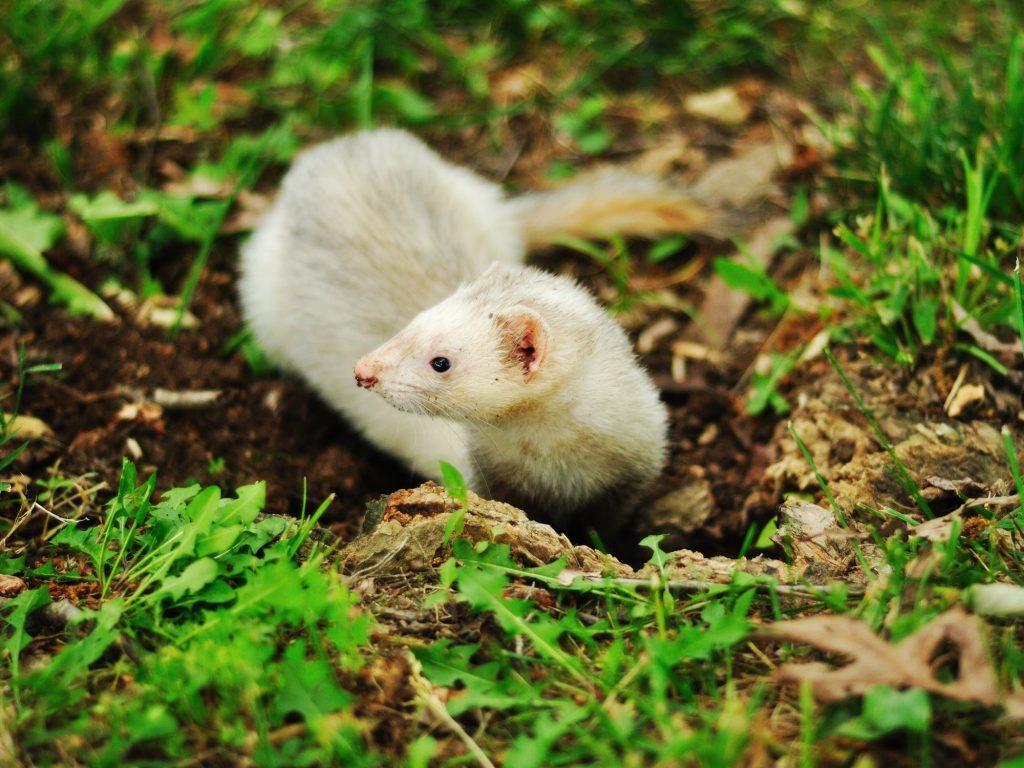 white ferret in grass