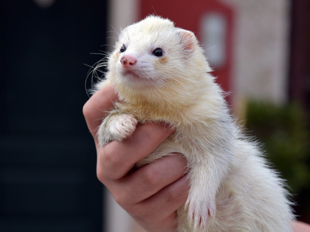 white ferret in human hands