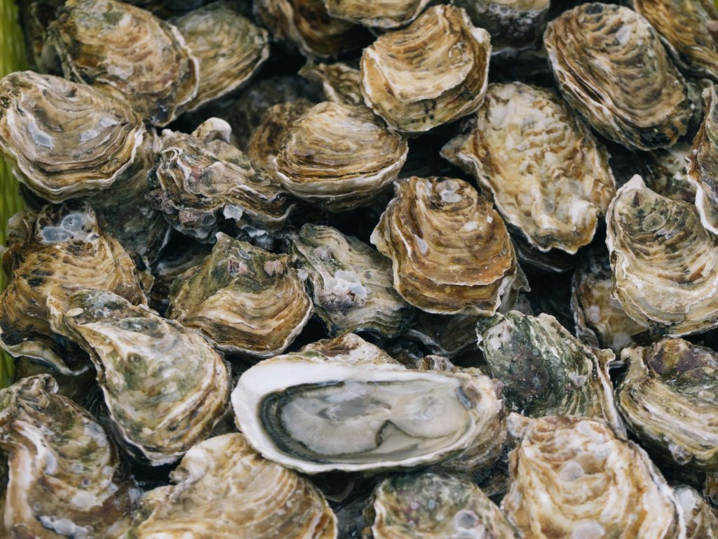 large group of oysters