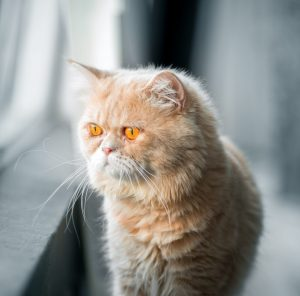 brachycephalic Cat looking out window