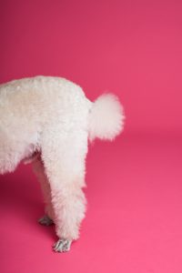 poodle tail with pink background