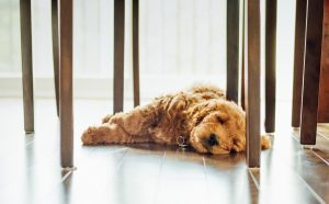 dog lying on the ground under table