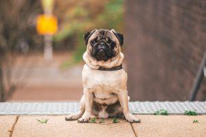 pug sitting down