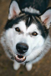 husky dog aggressive looking at camera