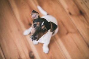jack russel terrier looking at camera