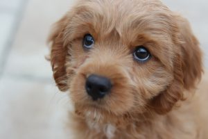 cute puppy with eyes looking at camera
