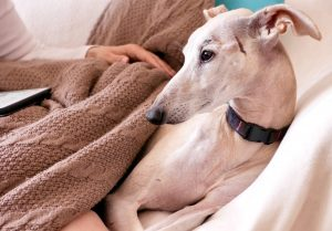 greyhound lying on the bed