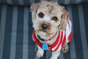 cute dog with red jumper and identity tag