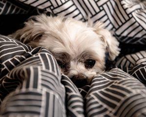 dog hidden in bed