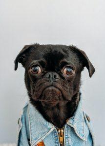 black pug with big eyes and denim jacket