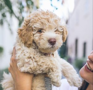 poodle being held by human