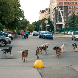 lots of dogs on the road