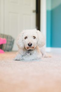 cute white dog lying on the floor