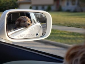 puppy hanging out of car window