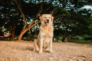 golden retriever sitting on ground in sun