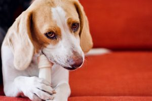 dog eating bone red background