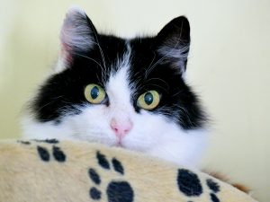 black and white cat behind a blanket