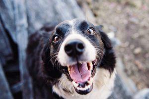 dog barking and vocalising