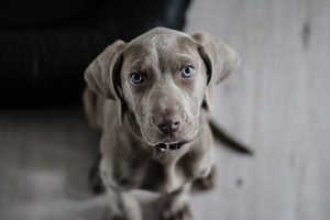 greyhound puppy looking into camera