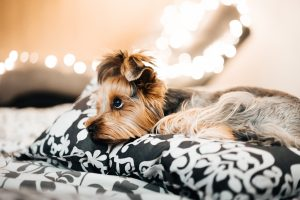 terrier dog lying down with lights behind him focusing