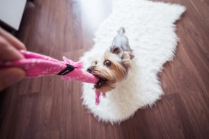 little dog chewing inappropriate item