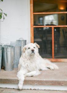 old white dog sitting outside house