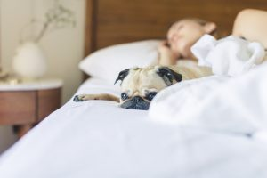 pug lying in bed with owner