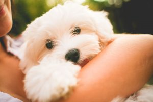 little white maltese puppy