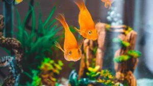 two goldfish in fish tank